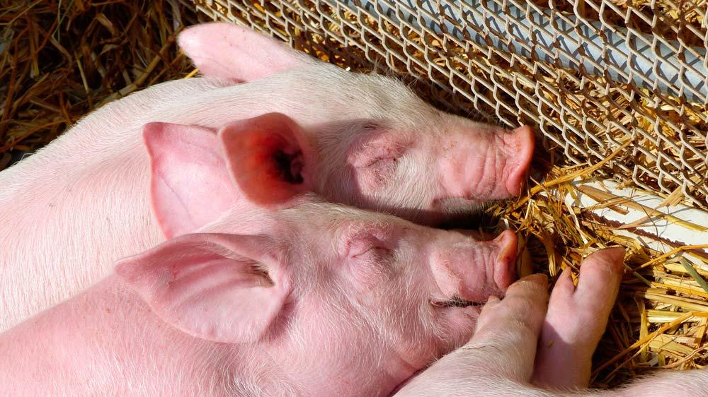 gaec-des-hirondelles-porcs01