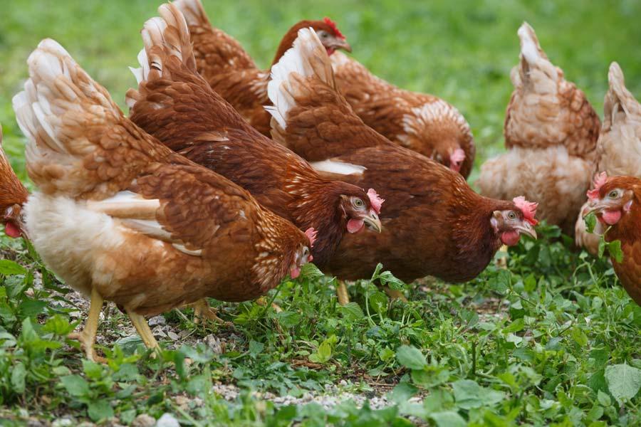 La ferme des hirondelles nos poules pondeuses gaec des for Top 10 des poules pondeuses